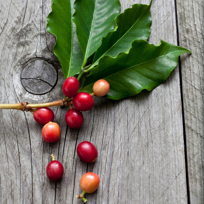 What is Coffea Canephora?