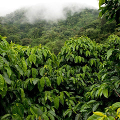 the truth about the origins of coffee