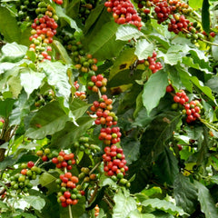 what is the coffee plant