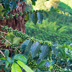 coffee plant scientific name