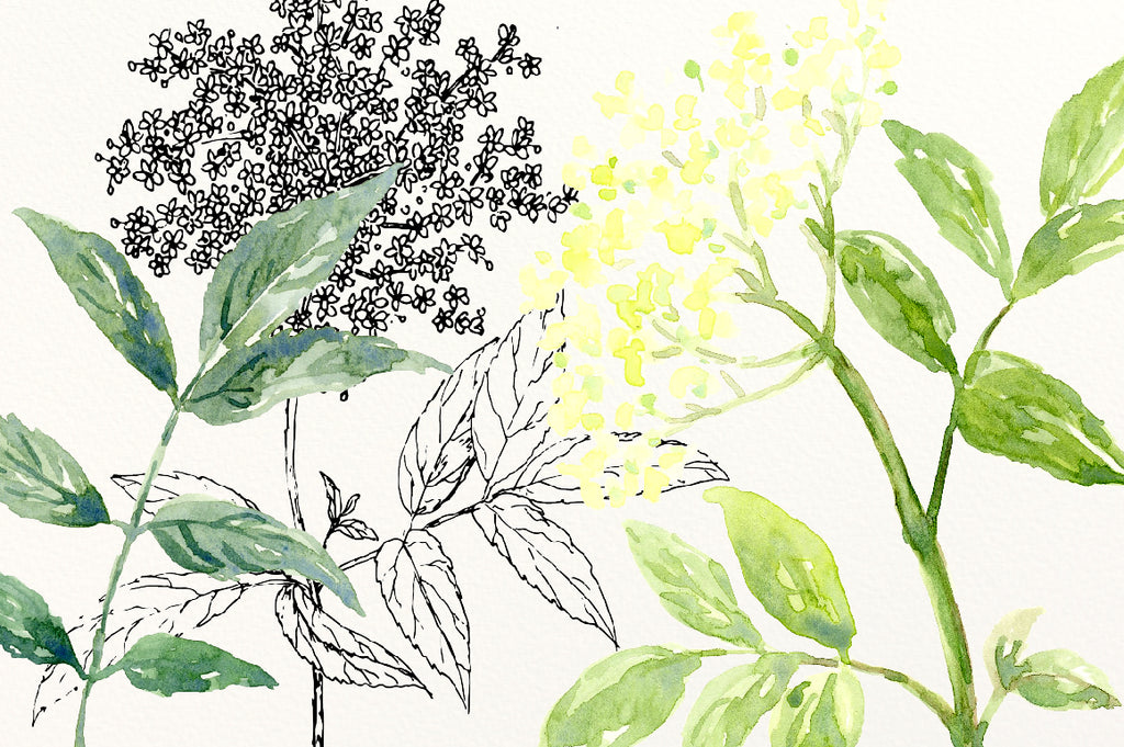 watercolor elderflower, pen sketch elderflower, png, svg cut file, vector elderflower, instant download