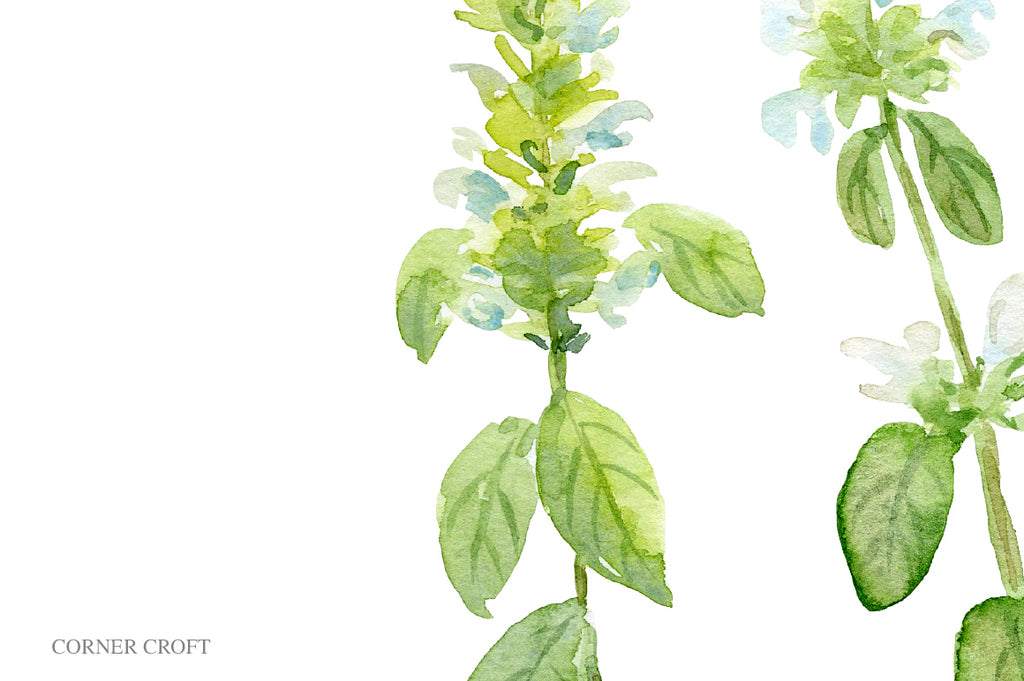 watercolor basil flower print, herb illustration, still life watercolor painting, herb flower, white flower