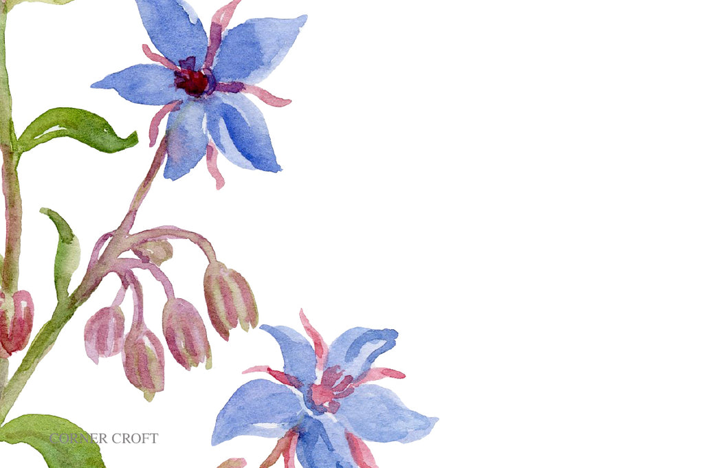 watercolor herb borage, borage plant with blue flowers, herb illustration, borage flower