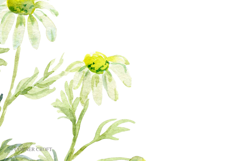 watercolor chamomile illustration, herb chamomile print, chamomile with white flowers.