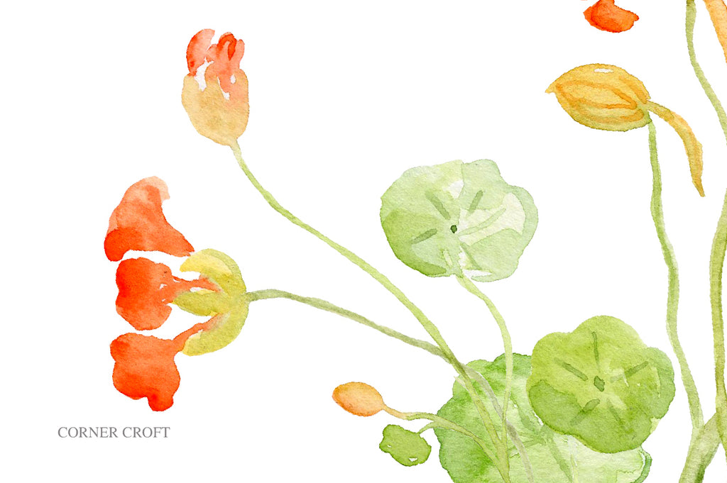 watercolor nasturtium, orange flower, edible flower nasturtium, botanical illustration
