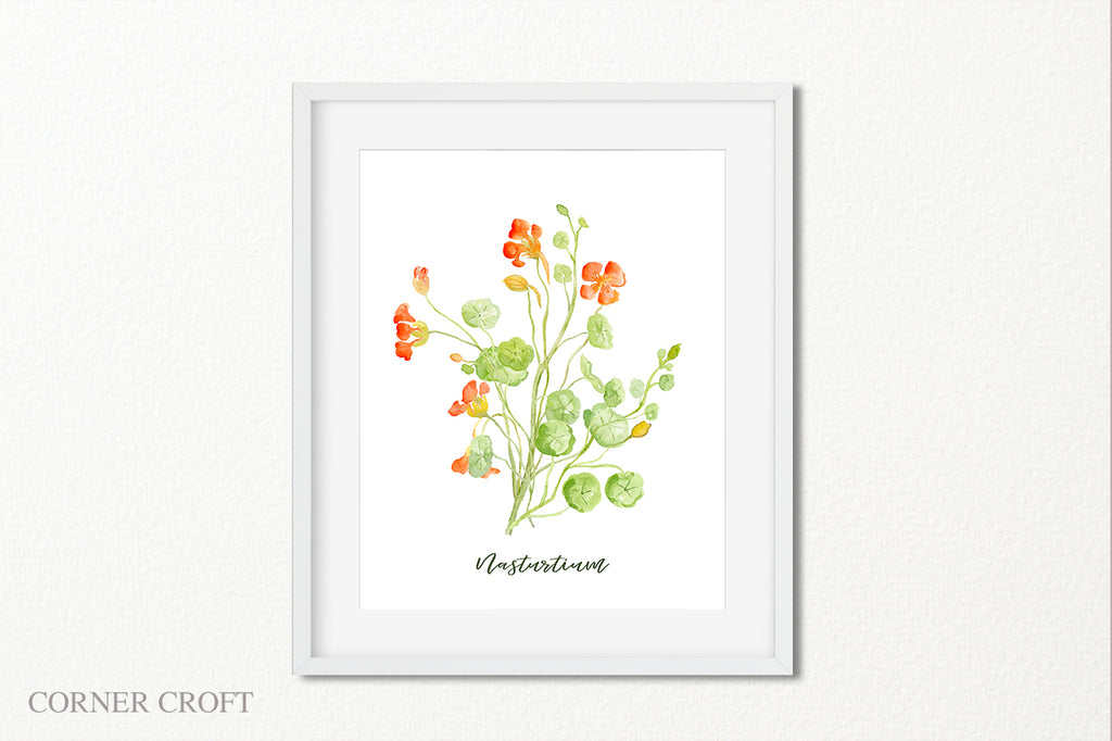 watercolor nasturtium illustration, botanical painting of herb nasturtium