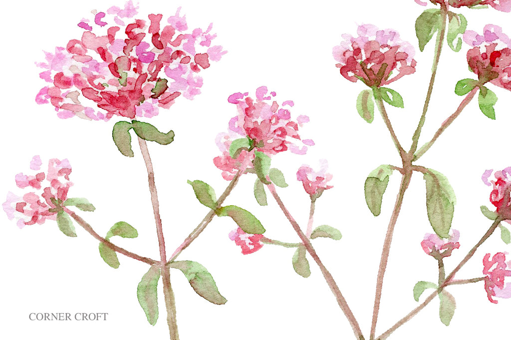 watercolor graphics of herb oregano, instant download