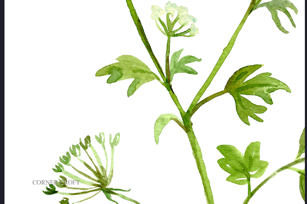 watercolor herb parsley flower, garden plant, kitchen print, instant download