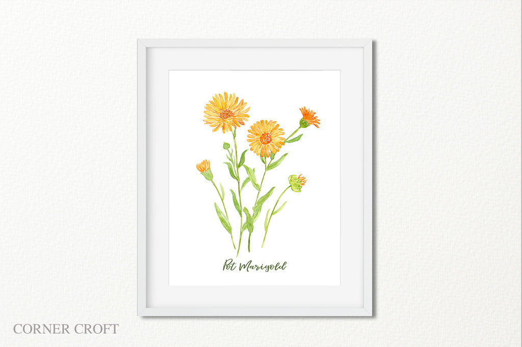 watercolor illustration of pot marigold, calendula, orange flower