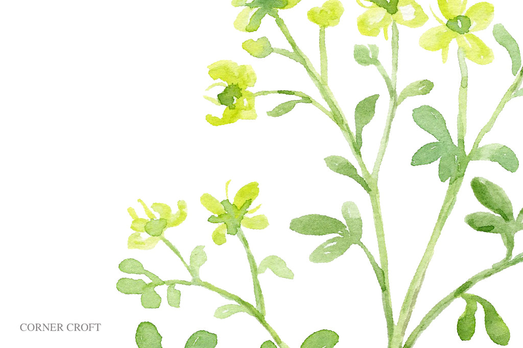 botanical illustration of rue, medicinal her plant, yellow flowers