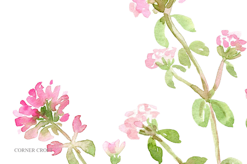 herb thyme flowers, pink flower, watercolor illustration of herb thyme