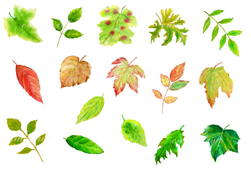 watercolour green leaf, golden leaf, leaf illustration