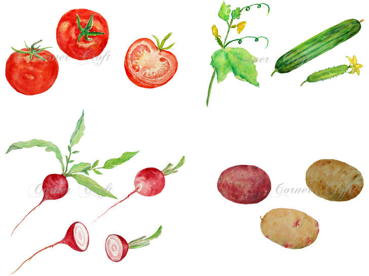 watercolor vegetable illustration, tomato, cucumber, radish and potato