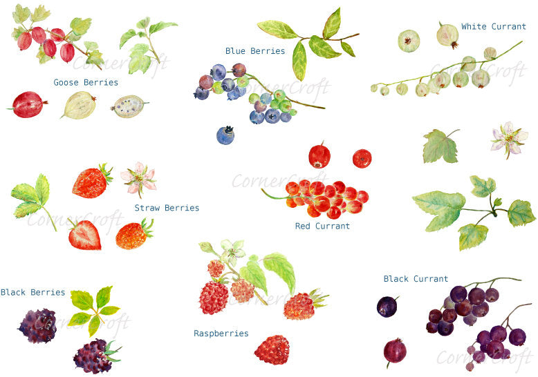 Watercolor Clipart Soft Fruit, gooseberry, blue berry, strawberry, black berry, raspberry