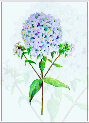 watercolor pink phlox, blue phlox flowers, detailed botanical illustration of phlox