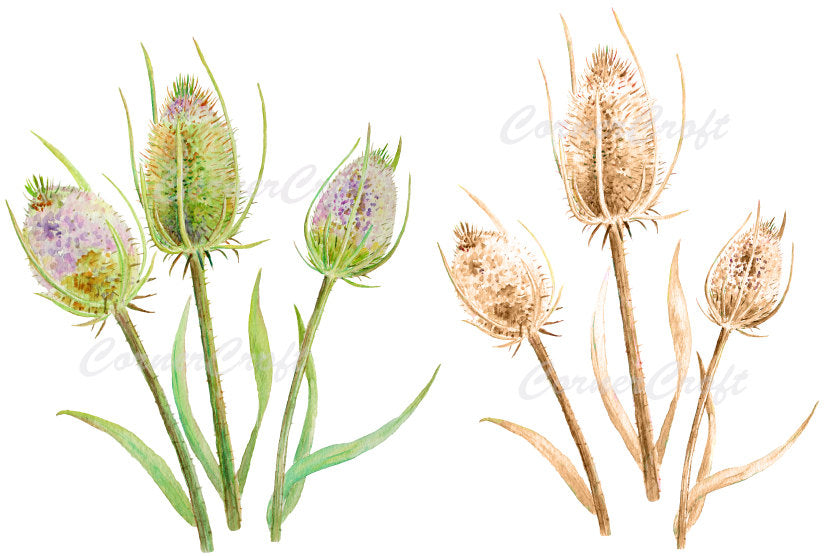 Watercolor thistle seed heads purple flowers dry seed heads printable, watercolor clipart