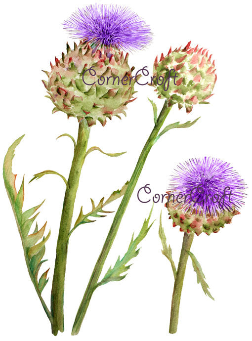 globe artichoke, watercolor clipart purple flower head, vegetable flower, vegetable illustration