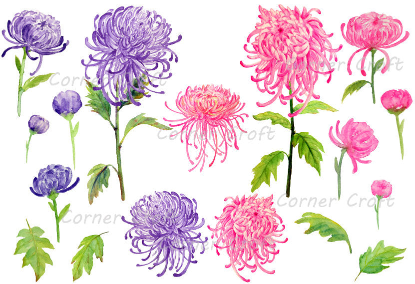 Watercolor clipart of Chrysanthemum, mum illustration, botanical painting of pink and purple flowers
