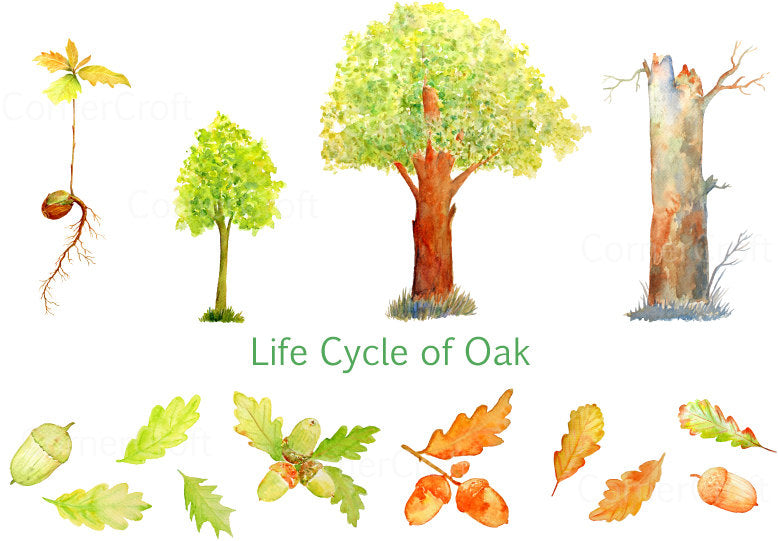 Watercolor clipart, Life cycle of Oak tree, oak seedling, sapling, mature tree, acorns, leaf instant download