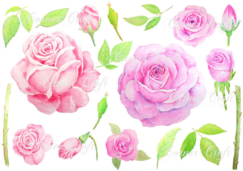 watercolor pink rose and purple rose illustration, botanical rose painting