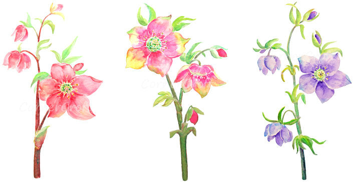 Watercolor hellebore flower clipart, hellebore branch, spring flower clipart