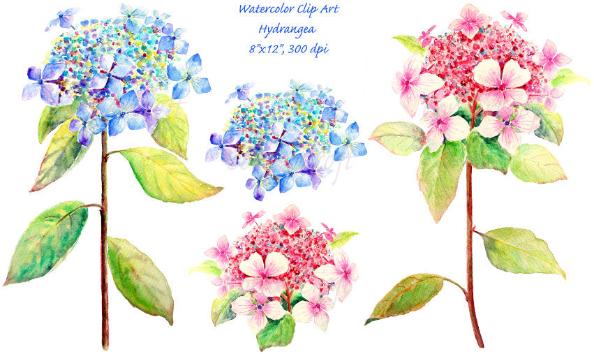 watercolor clipart blue hydrangea, pink hydrangea, botanical painting of hydrangea