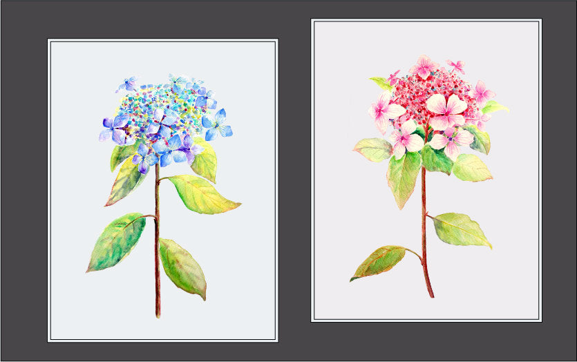 watercolor lacecap hydrangea, hydrangea illustration, digital download, digital file.