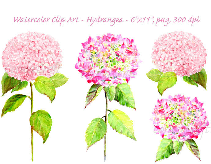 watercolor clipart pink hydrangea, pink flower, watercolour illustration, wall art, botanical painting