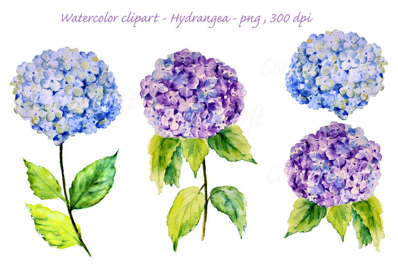 watercolor clipart, blue hydrangea, purple hydrangea, botanical illustration