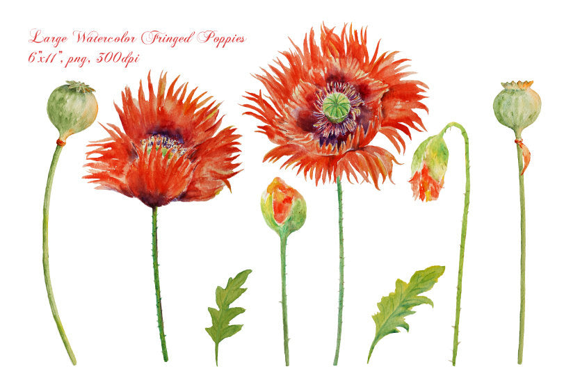 watercolor red poppy clipart, red poppies, botanical illustration