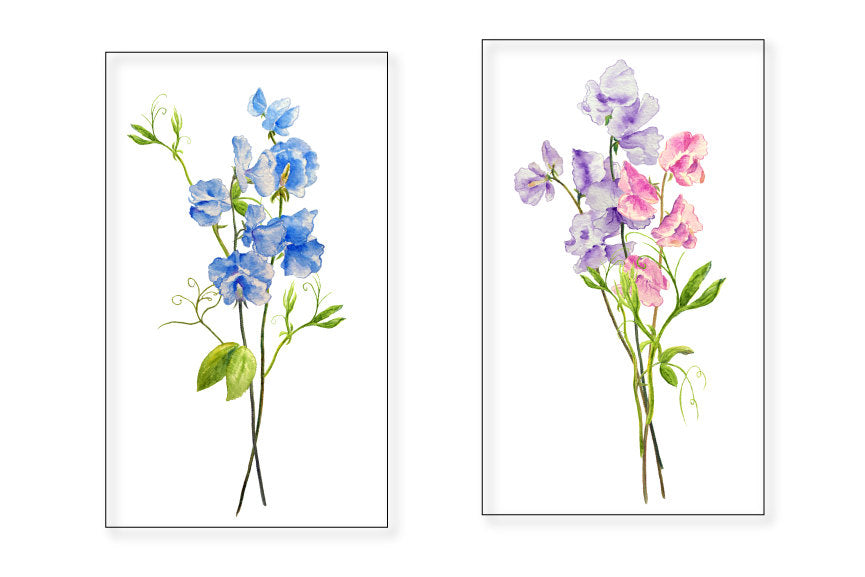 watercolor sweet pea clipart, sweet pea illustration