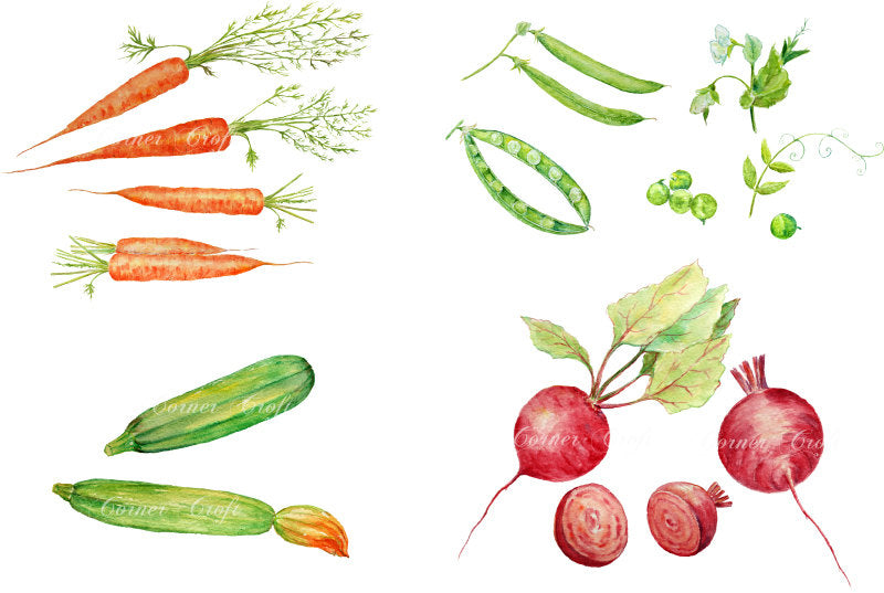 watercolor vegetable illustration, carrot, garden peas, courgette, beetroot