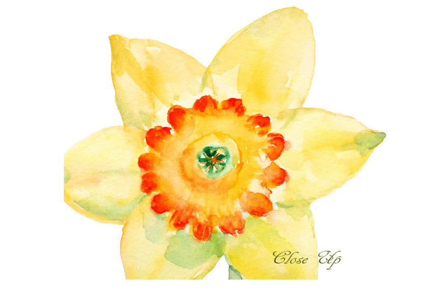 watercolor spring flower yellow daffodils, daffodil illustration, watercolor graphics