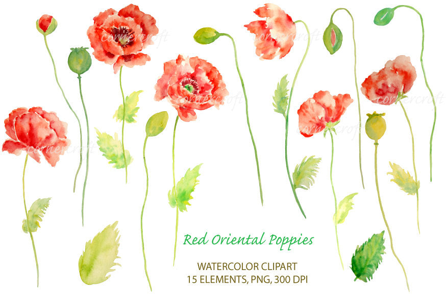 watercolor red poppy illustration, botanical poppy