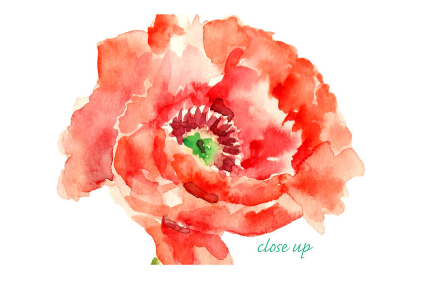 red poppy clipart, watercolor poppy illustration