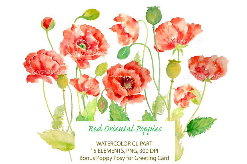 watercolor oriental red poppy illustration, botanical painting of poppies