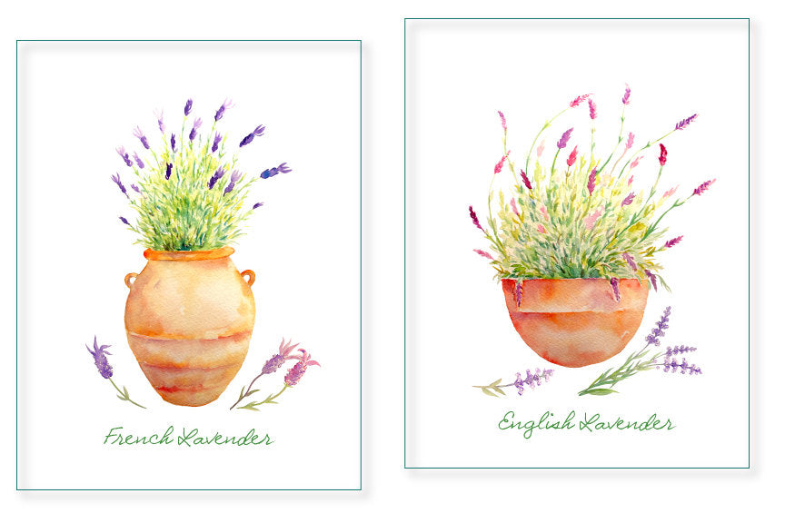 watercolor lavender in terracotta pots, detailed herb illustration, lavender flowers