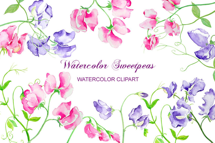 sweet pea clipart, watercolor illustration of sweet pea, pink sweet pea, purple sweet pea