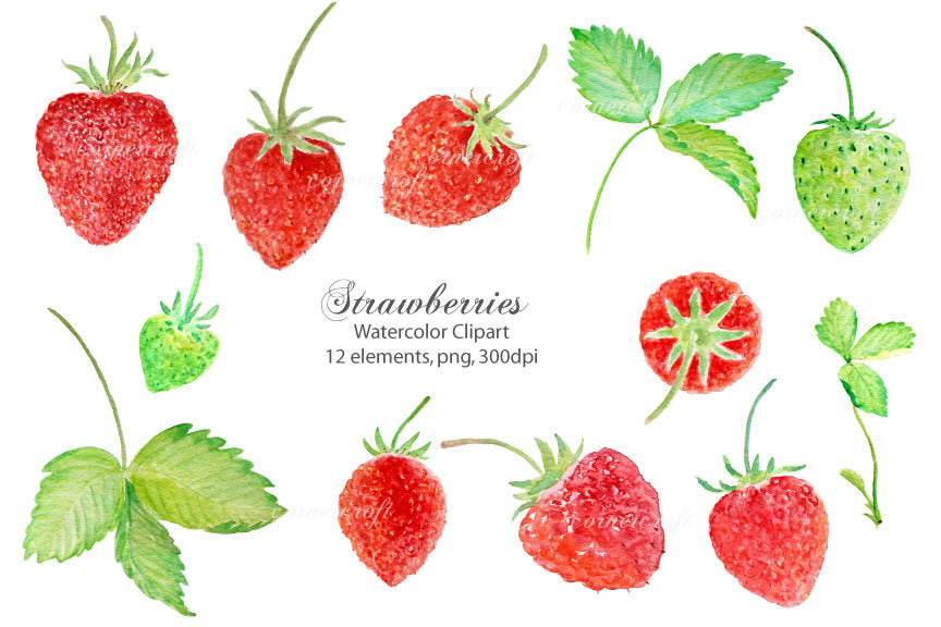 botanical illustration of strawberry, strawberries, red berries, strawberries