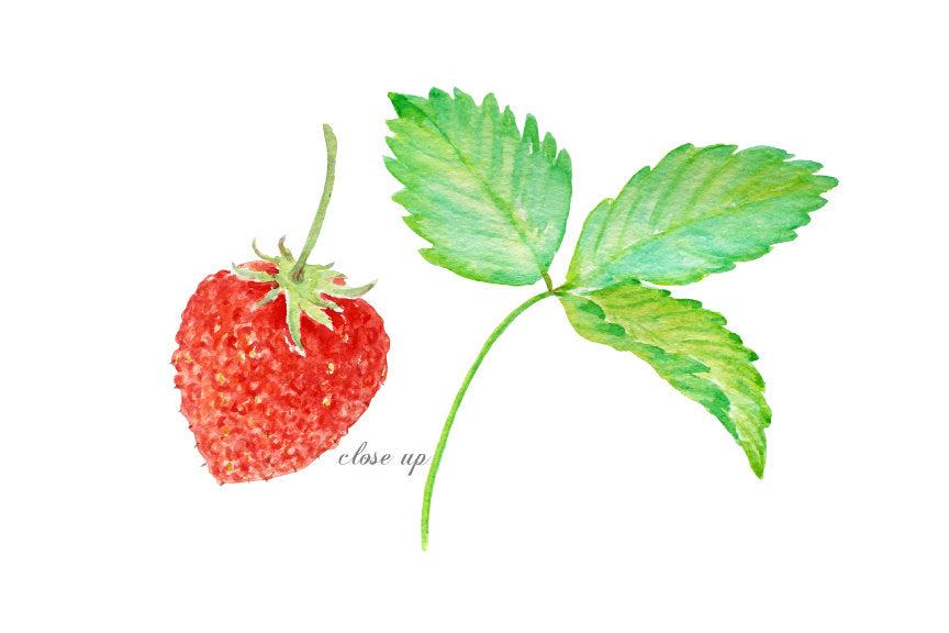 watercolor strawberry clipart, botanical illustration of strawberry, strawberries, red berries, strawberries