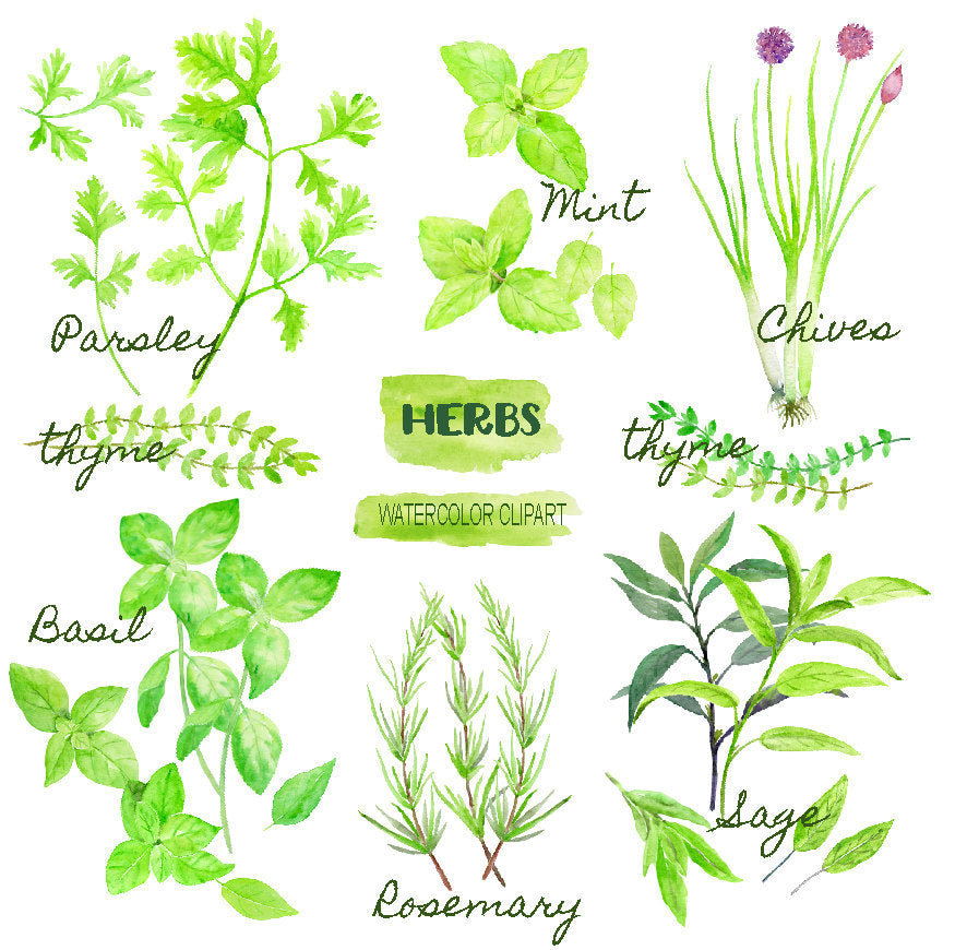 Watercolor herb collection, Mint Parsley, Chive, thyme Sage and Rosemary