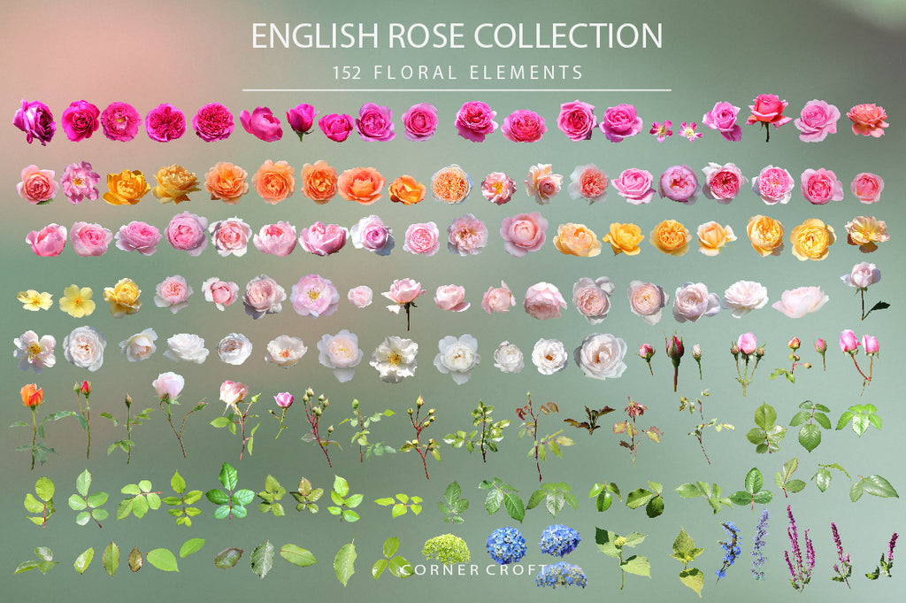 isolated rose, white rose, pink rose, peach rose, purple rose, orange rose, rose bundle, designs asset