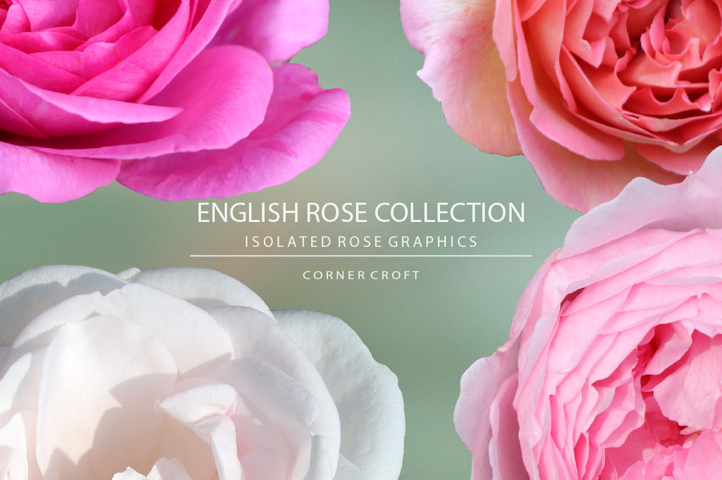 large rose graphics, isolated rose, English rose collection