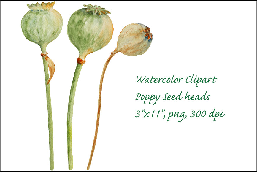 watercolor poppy seed pods, watercolor clipart, corner croft, instant download