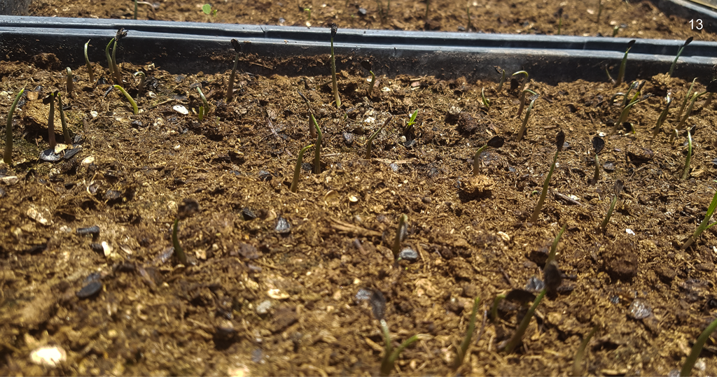 Copita field - agave seeds sprouts