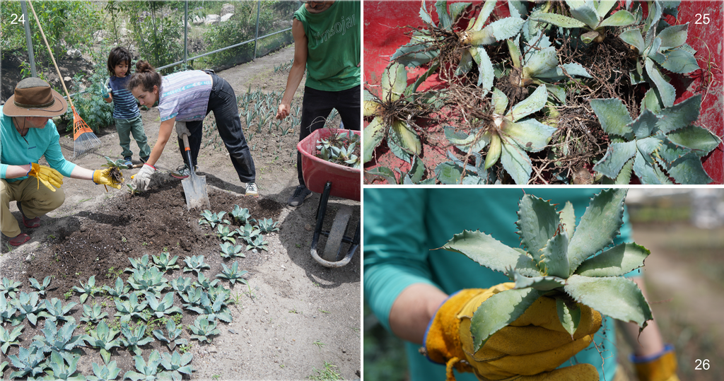 Copita field - agave getting ready to transplant to the wild hillside