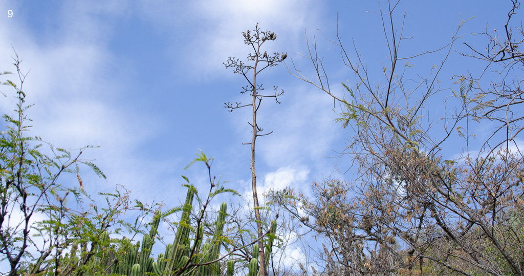 Copita field Quiote - Seed Recollection