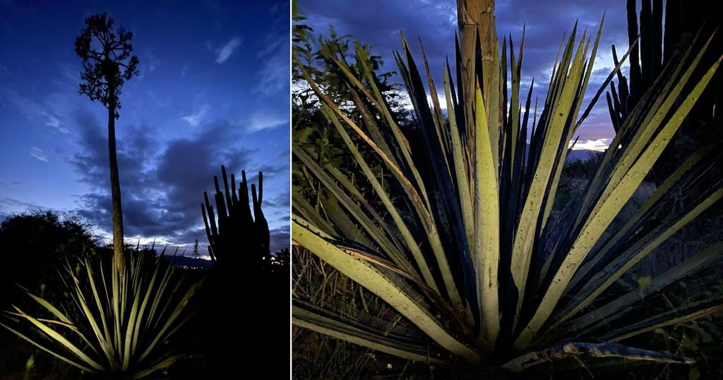 maguey at night