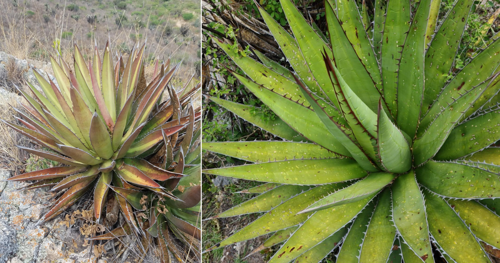 example of a stressed agave convalis