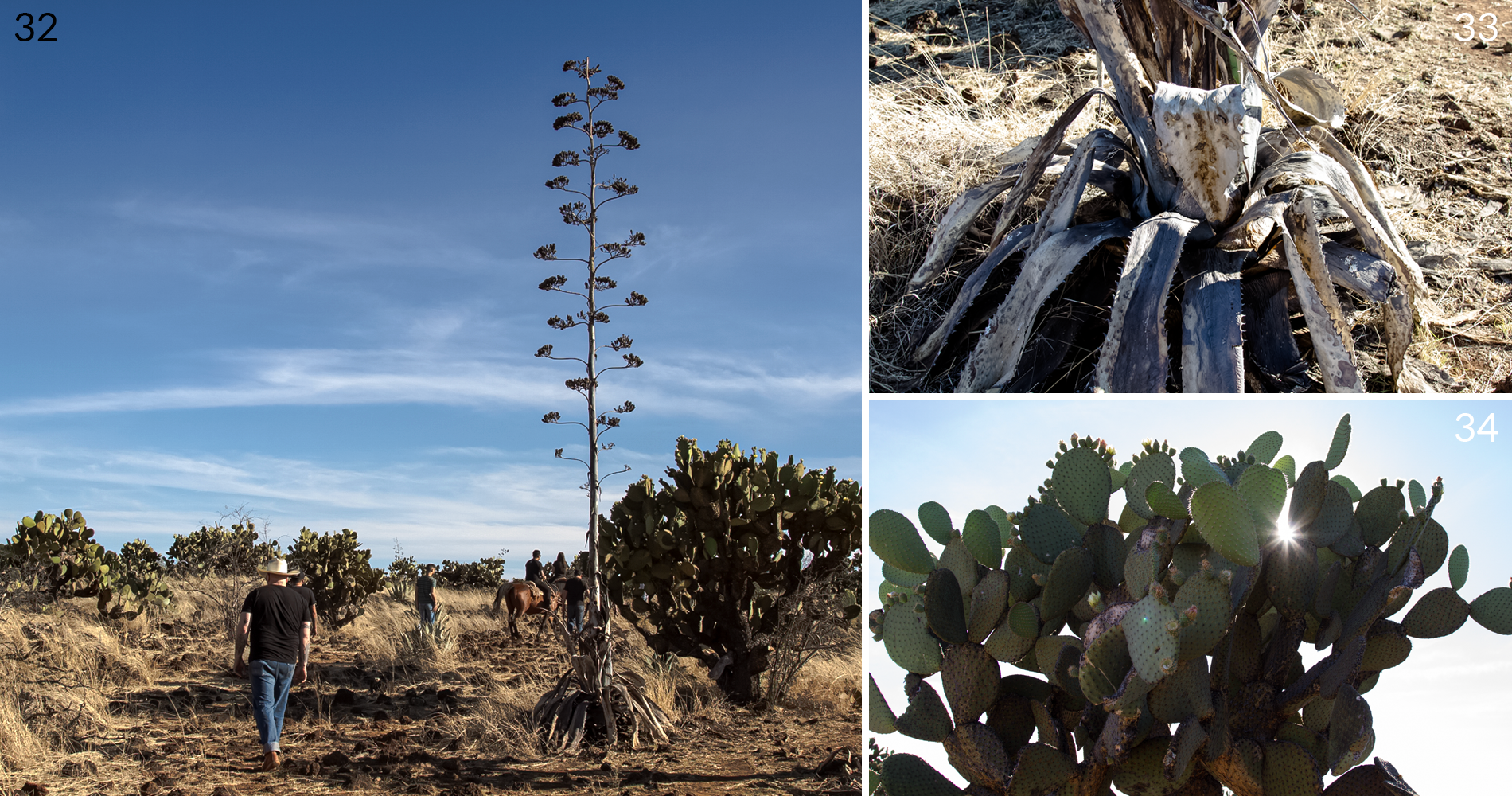agave going to full flowering quiote in durango mexico - origen raiz